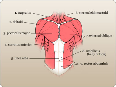 Muscular System Flashcards | Quizlet