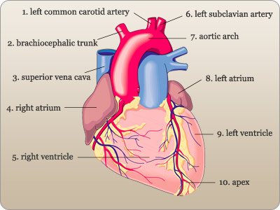 Cardiovascular system flashcards quizlet ccuart Image collections